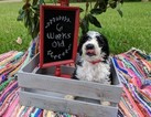 Sheepadoodle Puppy For Sale in FLINT, TX, USA