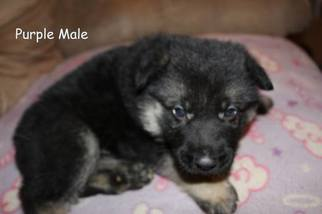 German Shepherd Dog Puppy For Sale in SOMERVILLE, TN, USA
