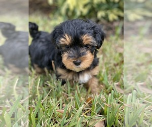 Yorkshire Terrier Puppy for sale in TAMPA, FL, USA