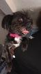 Shorkie Tzu Puppy For Sale in SMYRNA, GA, USA