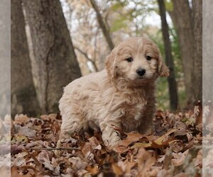 Goldendoodle-Poodle (Toy) Mix Puppy for Sale in WARSAW, Indiana USA
