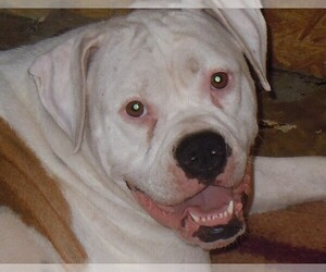 Mother of the American Bulldog puppies born on 08/14/2019
