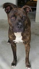 Ty - Pit Bull Terrier Dog For Adoption