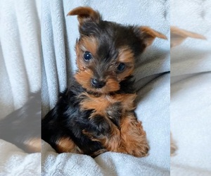 Yorkshire Terrier Puppy for Sale in KLEIN, Texas USA