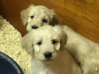 Goldendoodle Puppy For Sale in SOUTH EASTON, MA
