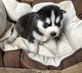 Pomsky Puppy For Sale in ARTHUR, IL, USA