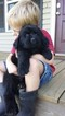 Newfoundland Puppy For Sale in JACKSON, MO,