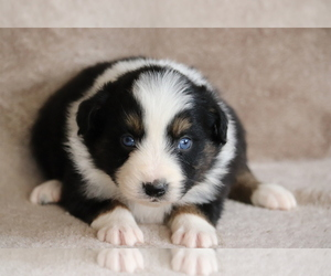 Miniature Australian Shepherd Puppy for sale in CHEHALIS, WA, USA