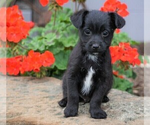 Foodle Puppy for Sale in FREDERICKSBG, Ohio USA