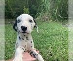Small Dalmatian