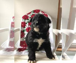 Akita-Poodle (Standard) Mix Puppy for sale in CHICAGO, IL, USA