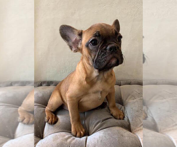 Medium Photo #2 French Bulldog Puppy For Sale in CHARLESTON, SC, USA