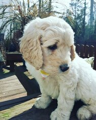 Goldendoodle Puppy for Sale in NEW BERN, North Carolina USA