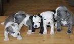 English Bulldog Puppy For Sale in HILLSBORO, OR, USA