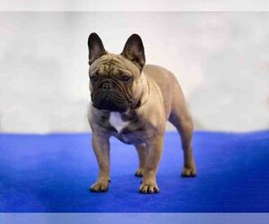 Father of the French Bulldog puppies born on 03/24/2021