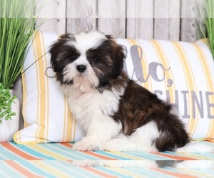 Shih Tzu Puppy for Sale in MOUNT VERNON, Ohio USA