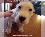 Small Photo #149 Dogo Argentino Puppy For Sale in PINEVILLE, MO, USA