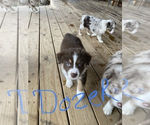 Australian Shepherd Puppy for Sale in EXETER, Missouri USA