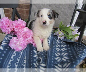 Border Collie Puppy for sale in BLMGTN, IN, USA