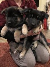 German Shepherd Dog Puppy For Sale in NEW BRAUNFELS, TX, USA
