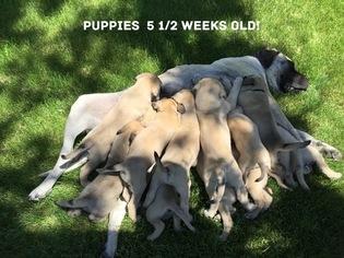 Mastiff Puppy for sale in FORT JONES, CA, USA