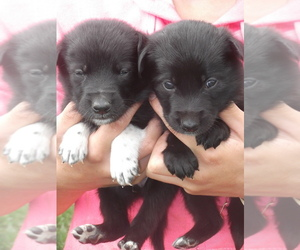 Border Collie-Norwegian Elkhound Mix Puppy for sale in CHATFIELD, MN, USA