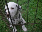 Dalmatian Puppy For Sale in MULBERRY, FL