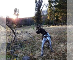 German Shorthaired Pointer Puppy for sale in BURNET, TX, USA