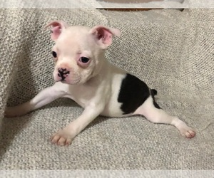 Boston Terrier Puppy for Sale in NEWBURY, Massachusetts USA