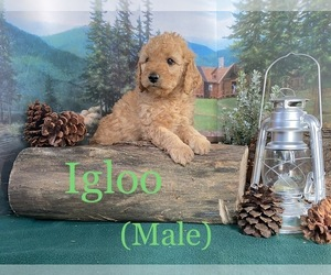 Goldendoodle Puppy for Sale in KENT CITY, Michigan USA