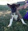 Akita Puppy For Sale in ARTHUR, IL, USA
