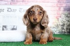 Dachshund Puppy For Sale in BEL AIR, Maryland,