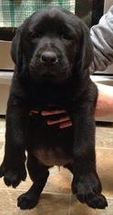 Labrador Retriever Puppy for sale in MOSSYROCK, WA, USA