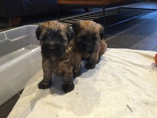 Soft Coated Wheaten Terrier Puppy for sale in CANADENSIS, PA, USA