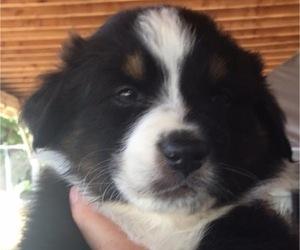 Australian Shepherd Puppy for sale in JURUPA VALLEY, CA, USA