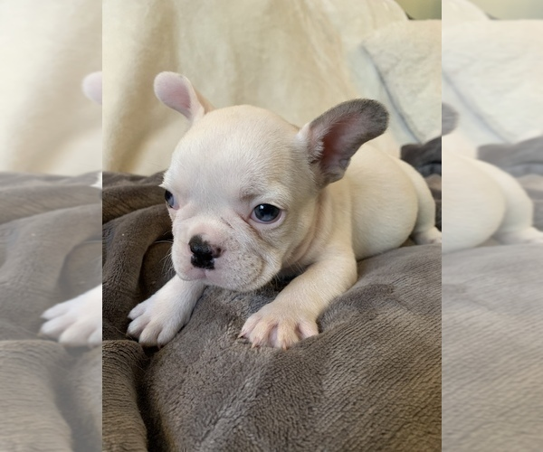 Medium Photo #2 French Bulldog Puppy For Sale in JOHNS ISLAND, SC, USA