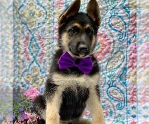 German Shepherd Dog Puppy for sale in COCHRANVILLE, PA, USA