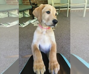 Labrador Retriever Mix Puppy for Sale in MACON, Georgia USA