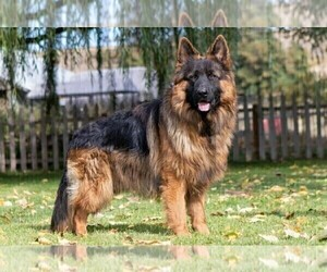 Father of the German Shepherd Dog puppies born on 06/29/2021