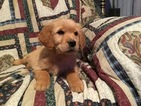 Golden Retriever Puppy For Sale in MENDOTA, IL, USA