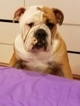 Bulldog Puppy For Sale in LINDEN, NJ