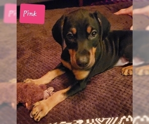 Doberman Pinscher Puppy for Sale in SPRINGFIELD, Illinois USA