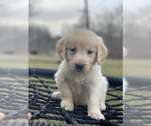 Golden Retriever Puppy for Sale in MORGANTOWN, Indiana USA