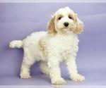 Puppy 2 Cocker Spaniel-Poodle (Miniature) Mix
