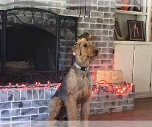 Father of the Airedale Terrier puppies born on 12/14/2019