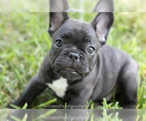 French Bulldog Puppy for Sale in CENTERVILLE, Ohio USA