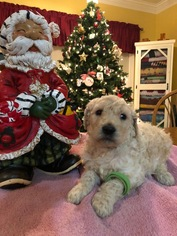 Goldendoodle-Poodle (Standard) Mix Puppy For Sale in BURKESVILLE, KY, USA