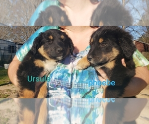 English Shepherd Puppy for Sale in WETUMPKA, Alabama USA