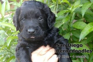 Bernese Mountain Poo Puppy For Sale in ALPINE, CA
