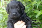 Bernedoodle Puppies Midnight Black